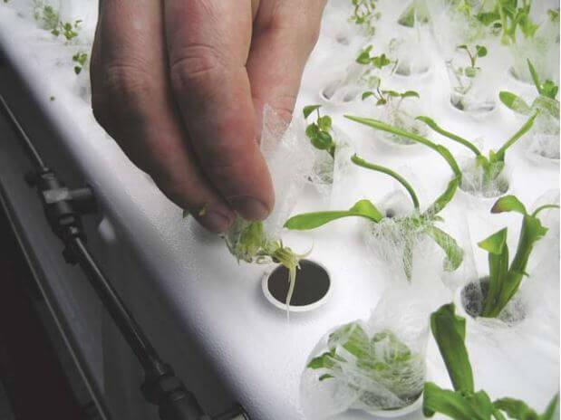 צמחים אלה פתחו מערכת שורשים בריאה,ללא אדמה במערכת אירופונית מהירת צמיחה. (קרדיט תמונה: AgriHouse, Inc)