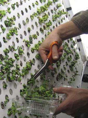 """קיר אירופוני לגידול צמחים בחלל חלק מתכנית נאס""""א"""