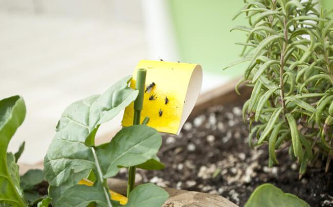 סקט צהוב חלק ממאמר על הדברה אורגנית צהוב